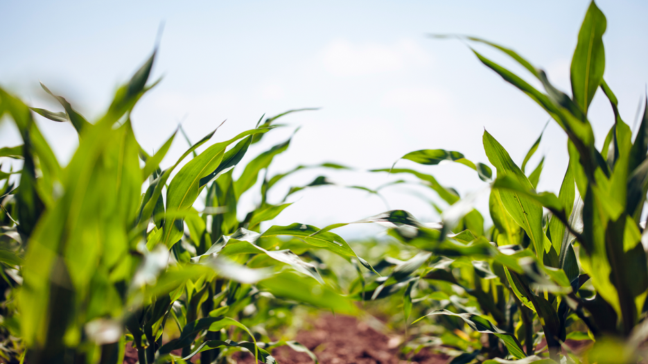 cornplants_featured